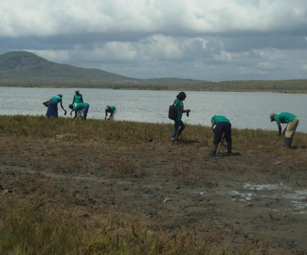 Planting_of_mangroves_at_Lagoon_shore
